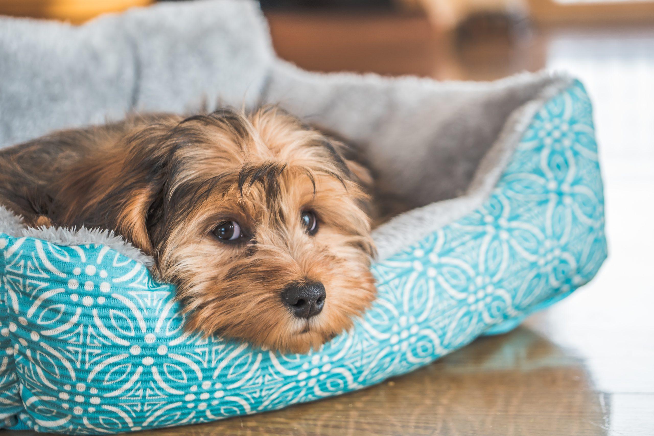 parvovirosis canina